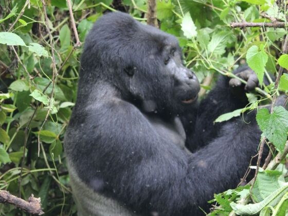 gorilla oeganda