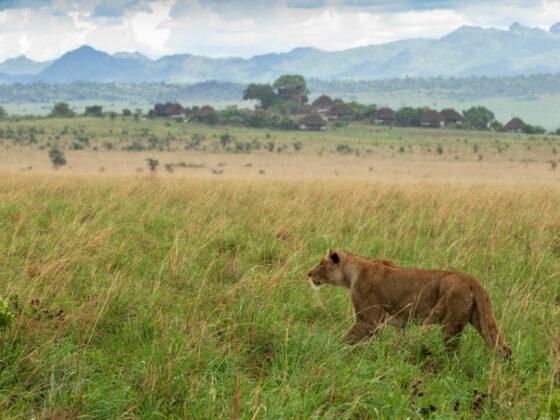 Kidepo leeuw
