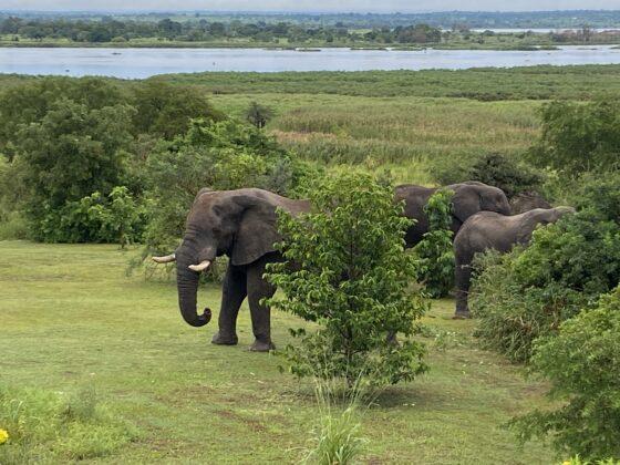Olifanten Murchison